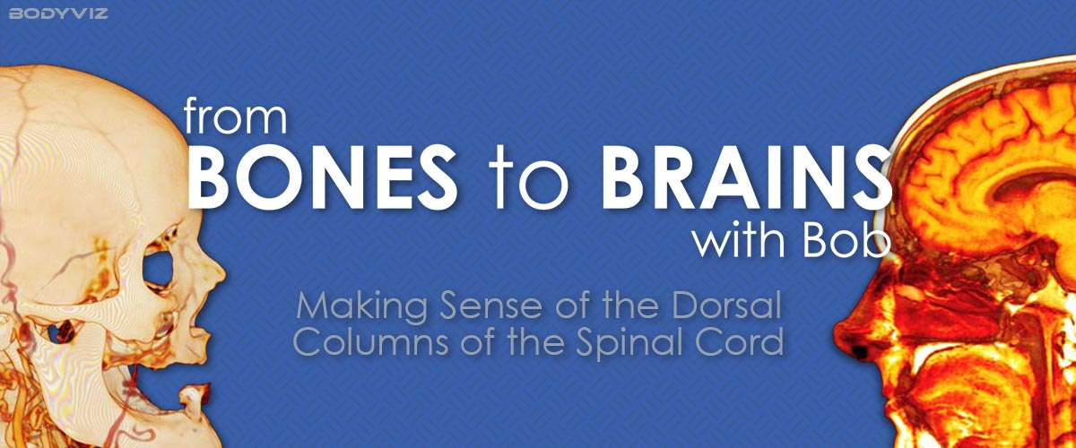 Dorsal Columns Visualized in 3D Anatomy Software